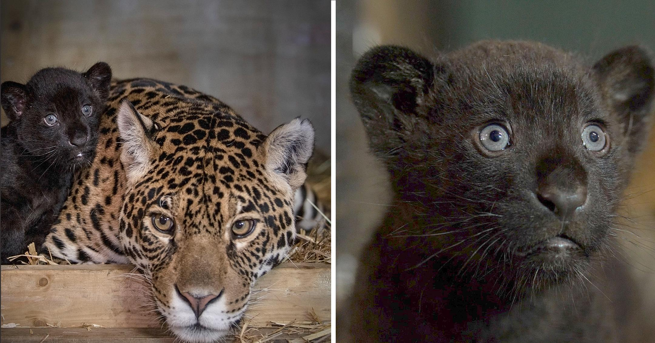 rare black baby jaguar is looking for a name
