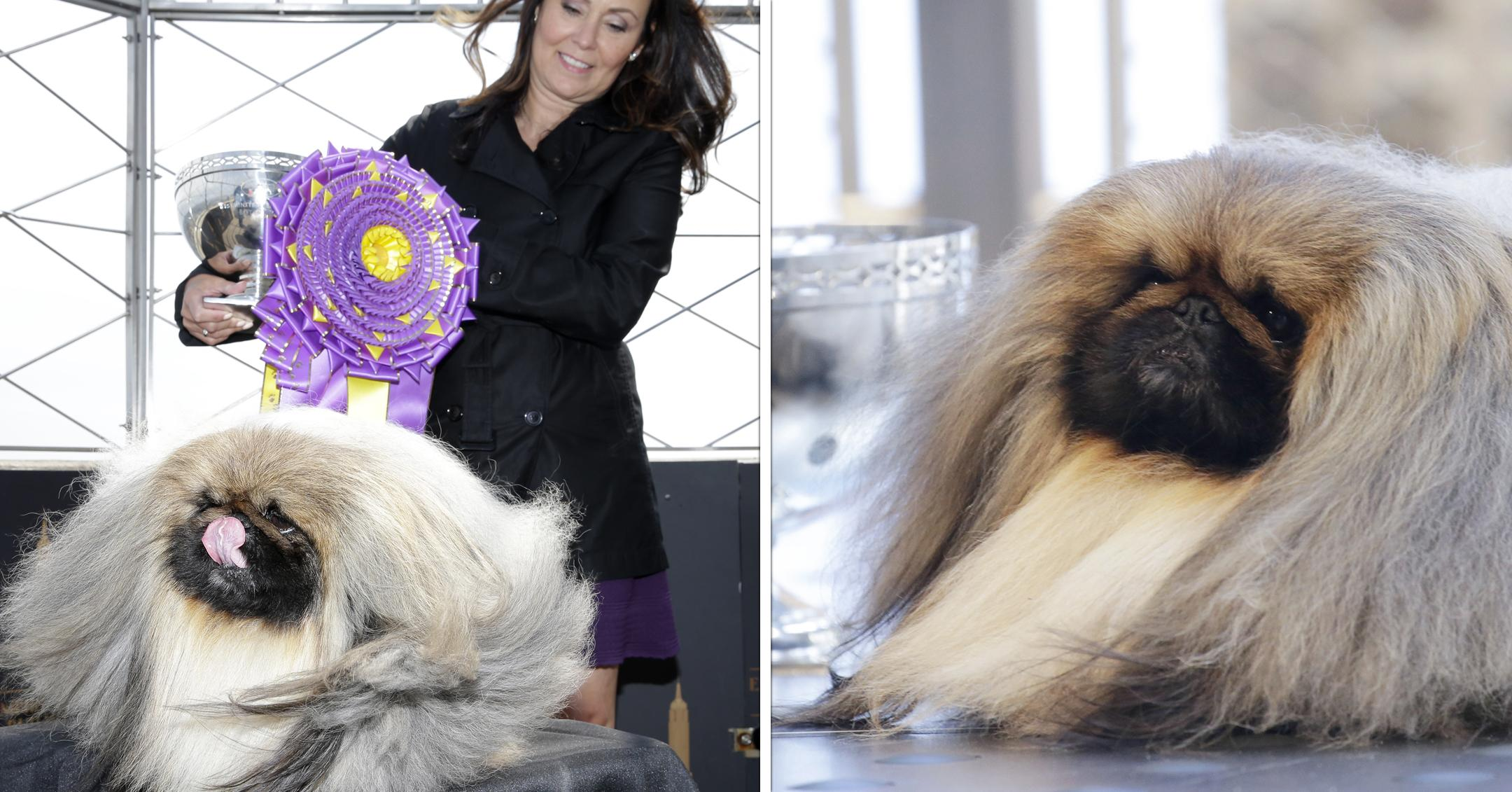 wasabi the pekingese visits empire state building after winning westminster