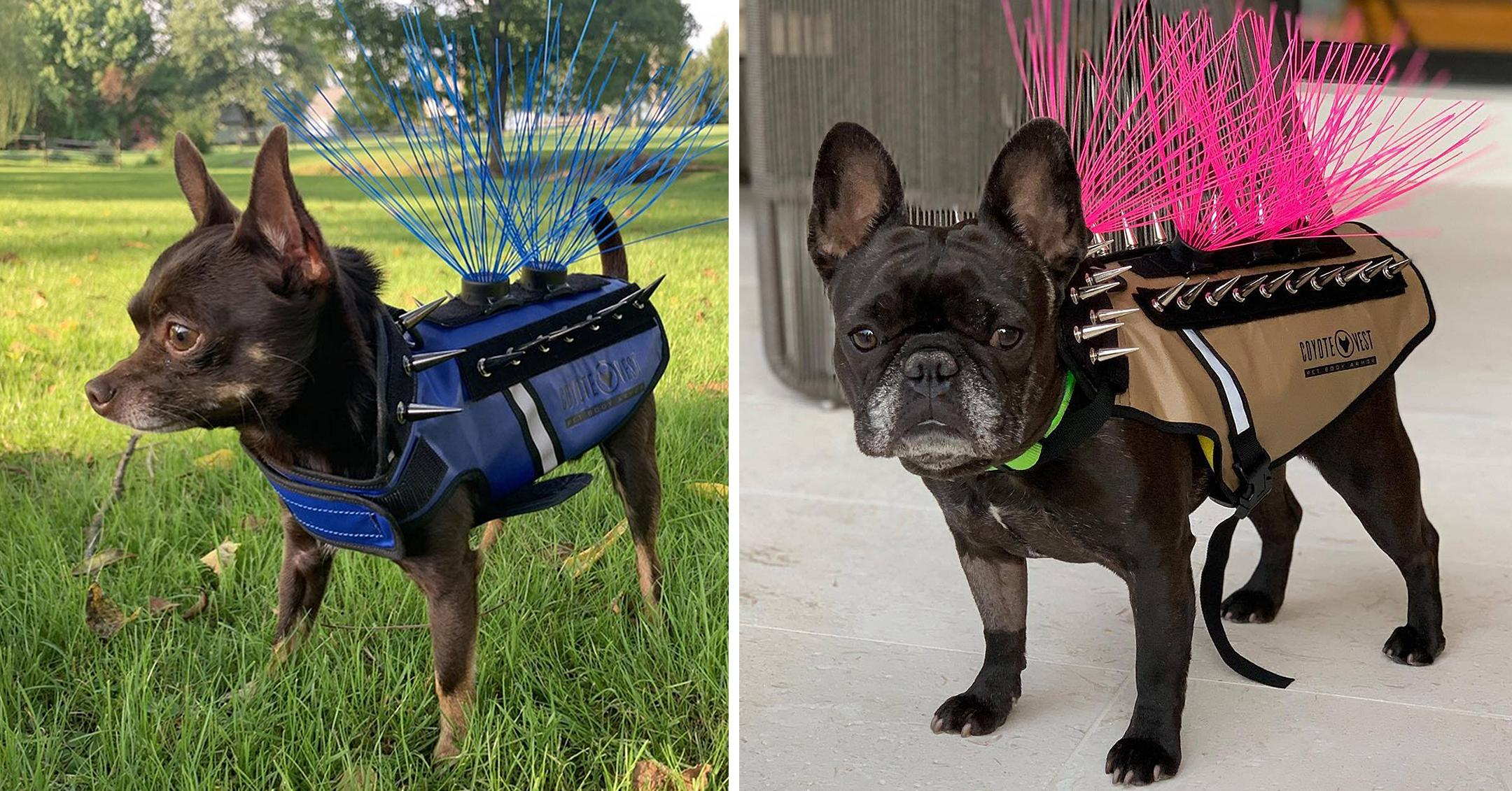 dogs wear coyotevest as protection from hawks