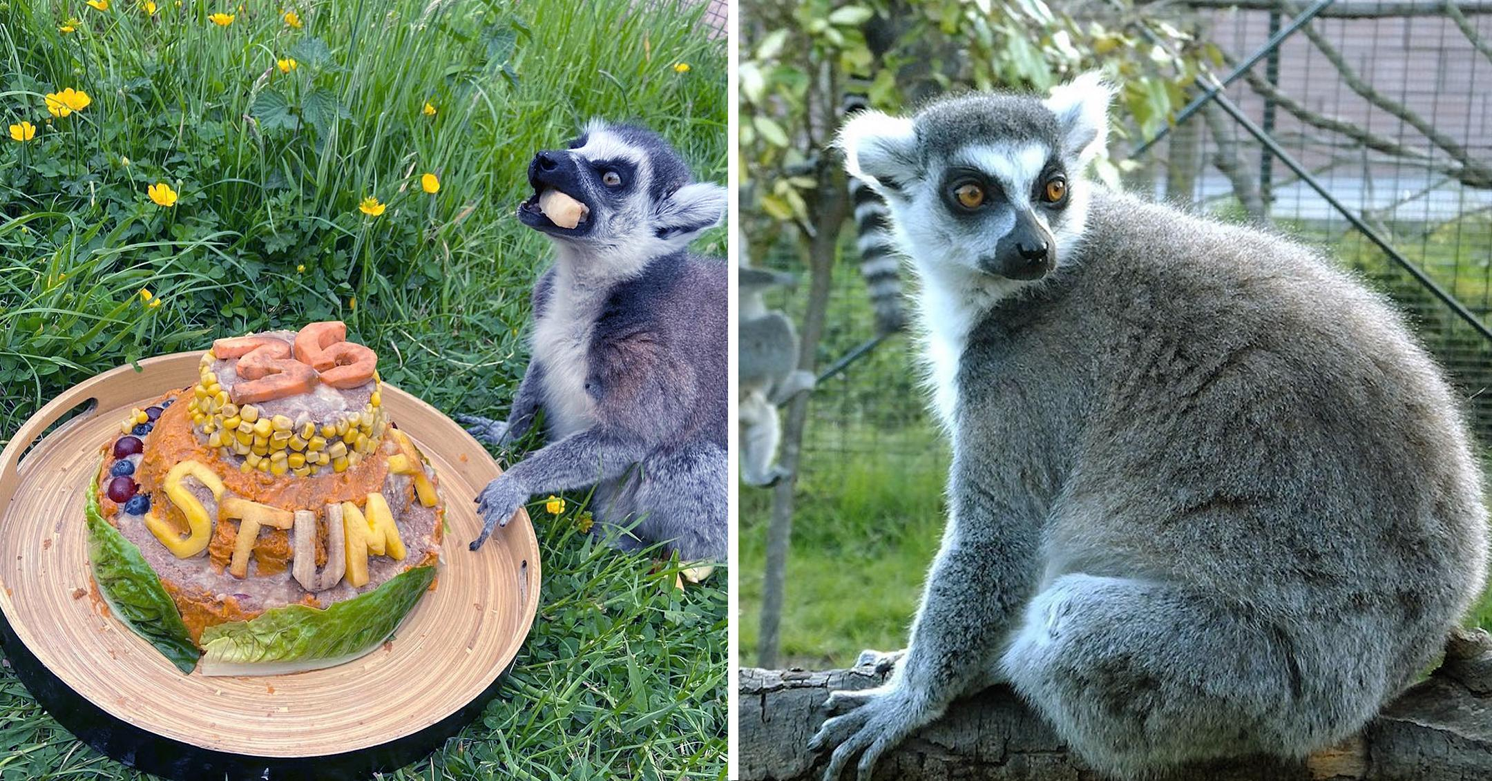 worlds oldest lemur turns