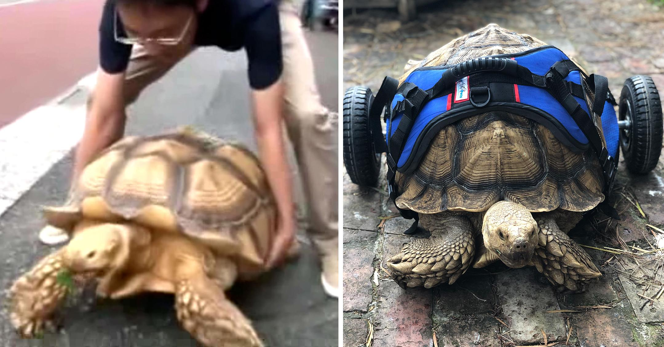disabled tortoise in his custom made wheelchair